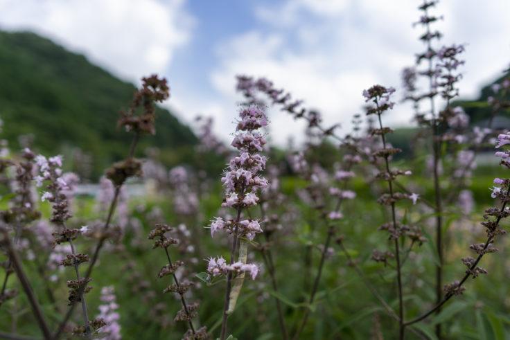 細川家住宅の駐車場に咲く花