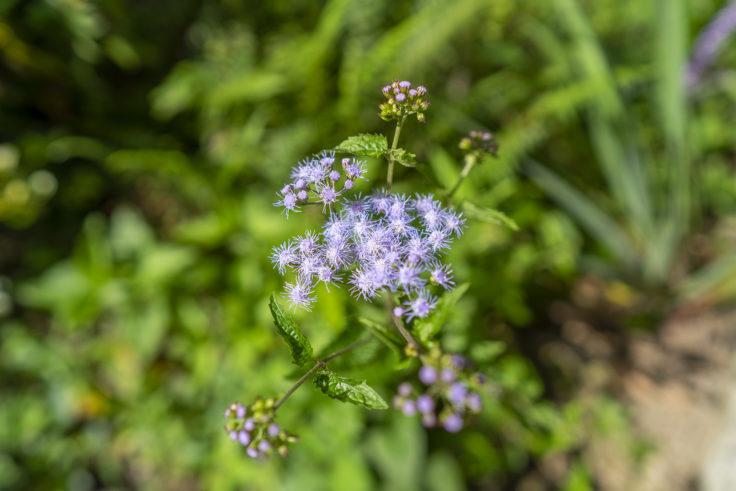 山で咲いていたアゲラタム