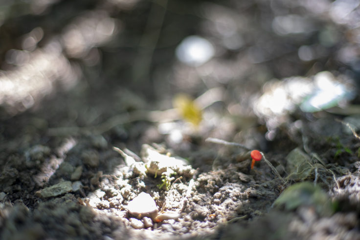 五色台野鳥の森の赤いキノコ