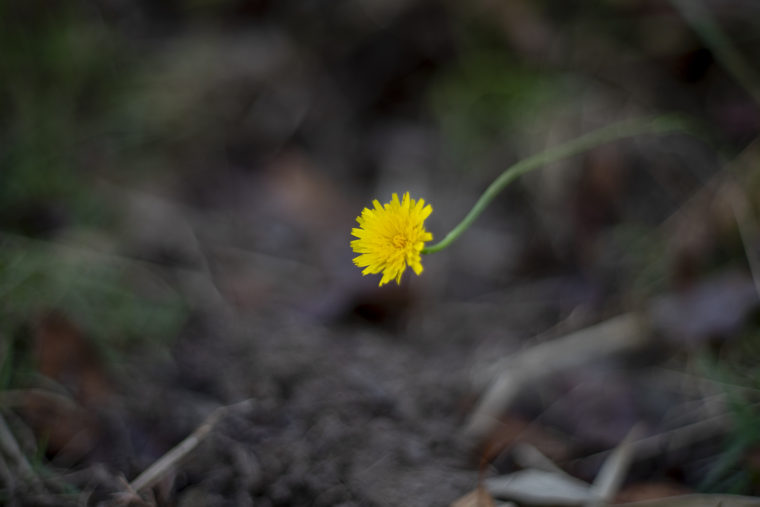 五色台の黄色い花