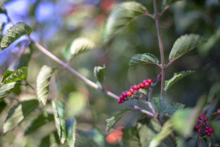 五色台の赤い実