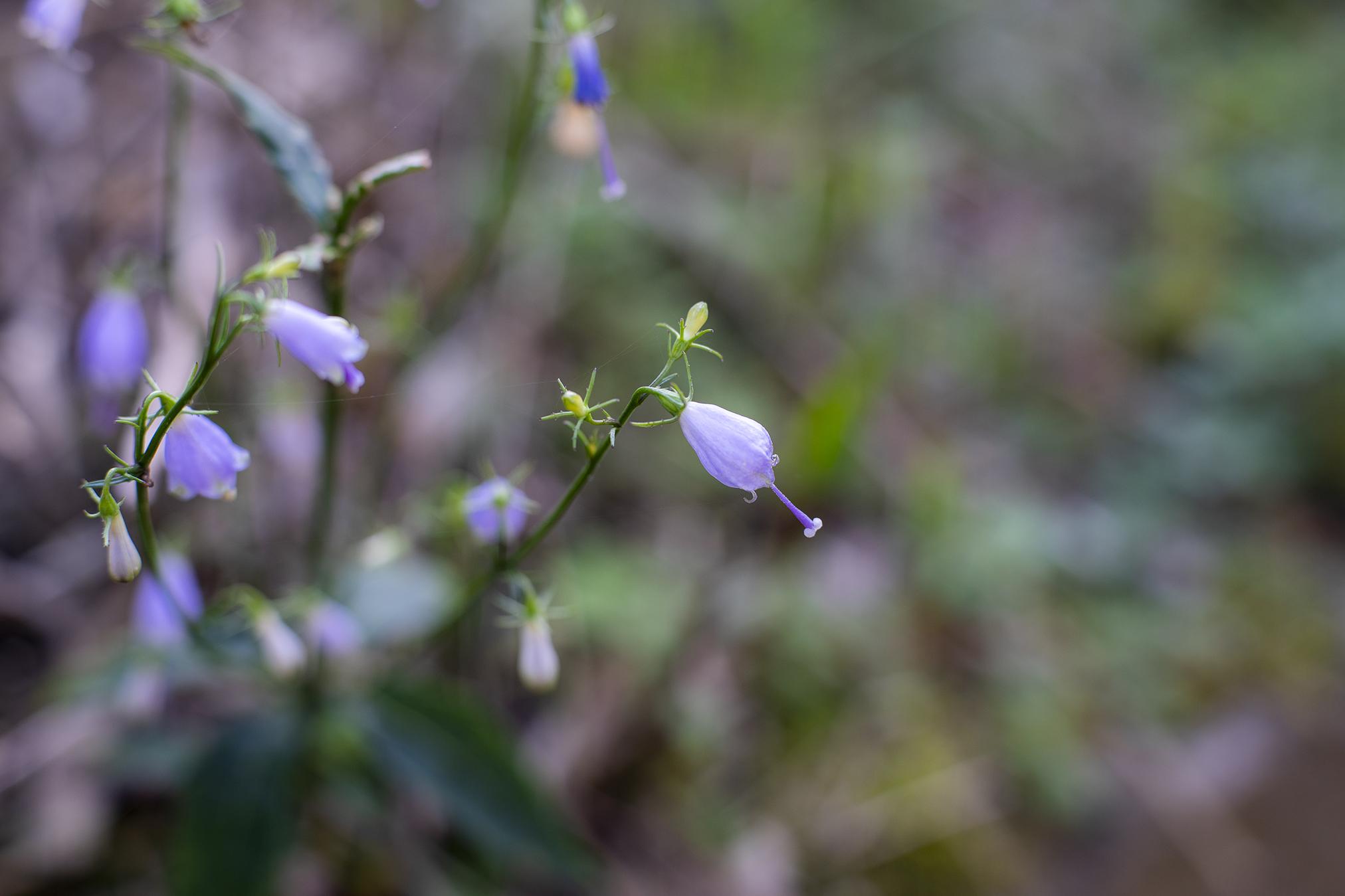 ツリガネニンジンの花言葉と誕生花