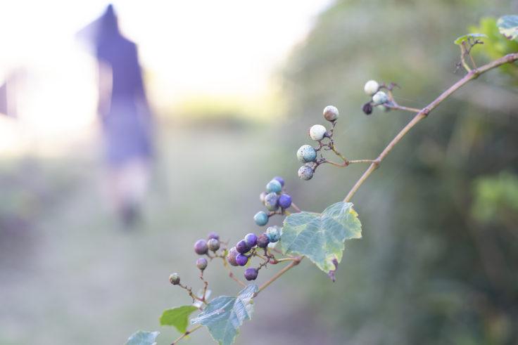 五色台のノブドウ