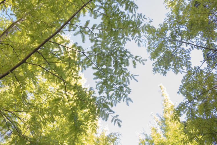 太古の森のメタセコイヤを見上げる