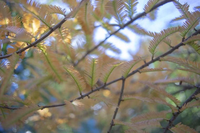 太古の森のメタセコイヤ紅葉