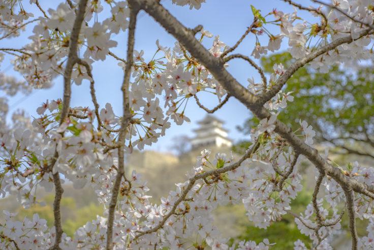 桜と丸亀城
