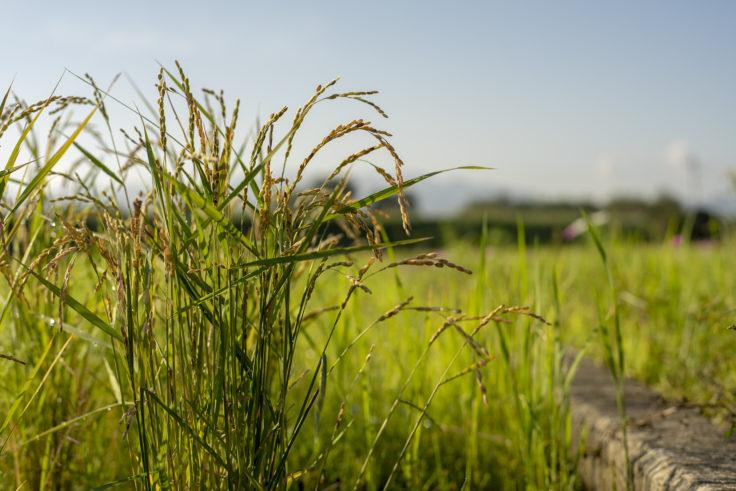 寒川町のコスモス畑の稲