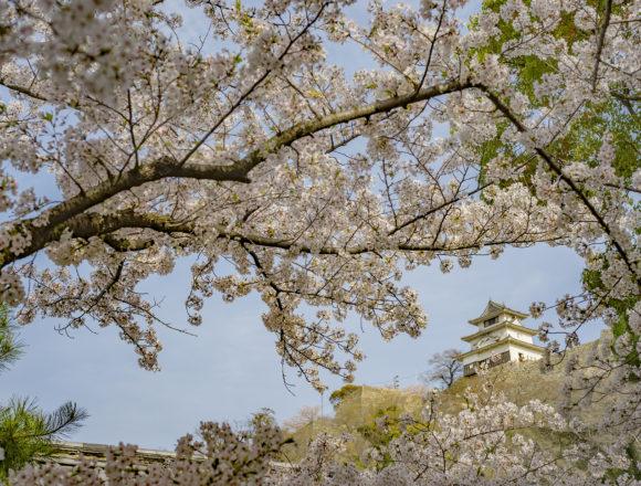 丸亀城の桜