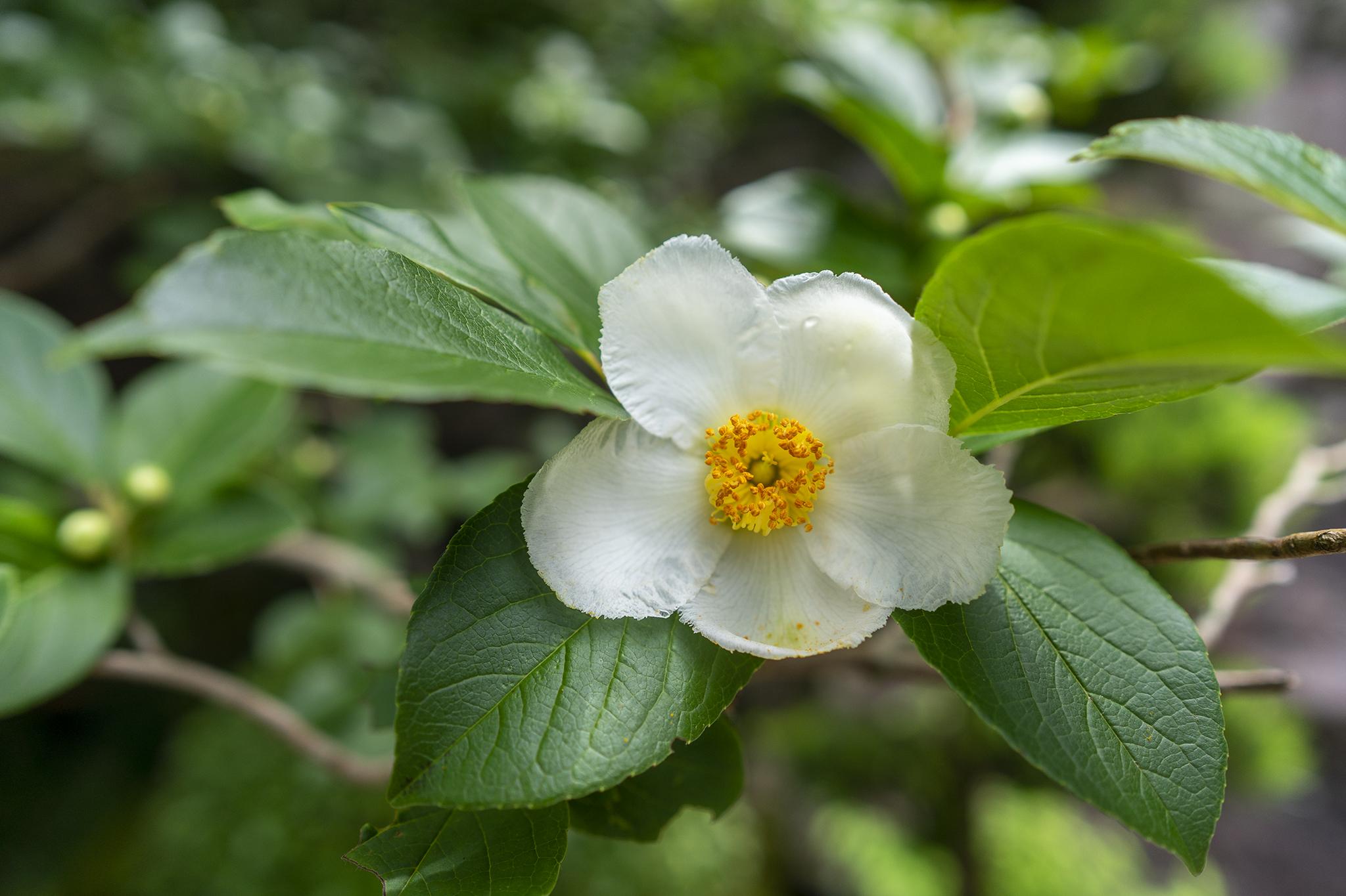 野田屋竹屋敷の夏に咲く花「ナツツバキ」と「ヒメツバキ」ほか。