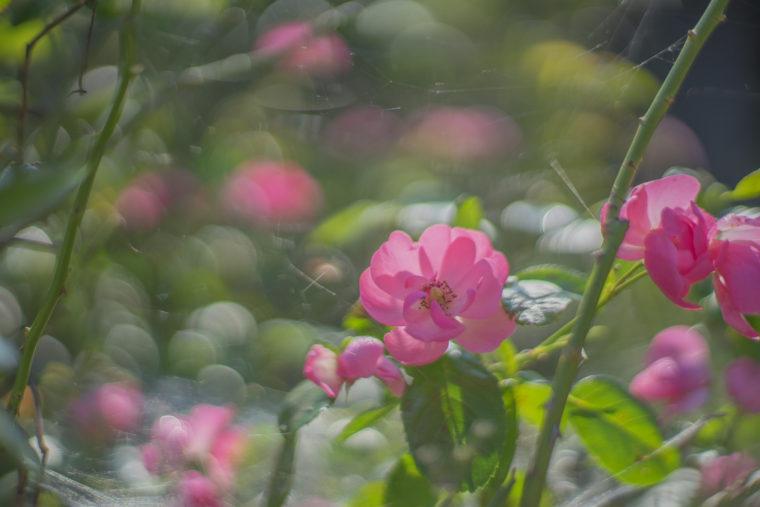 うしおじさんのバラ2