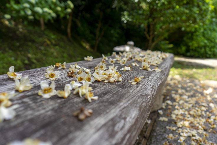 野田屋竹屋敷の散ったヒメツバキ