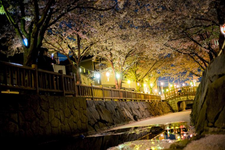 鹿の井出水夜桜