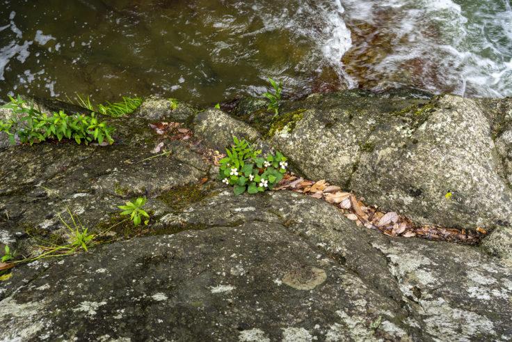 不動の滝のドクダミ