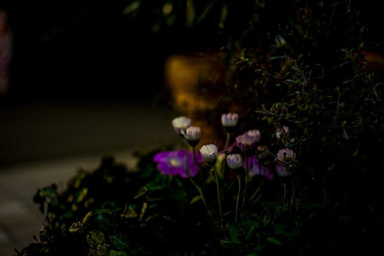 夜のマーガレット2