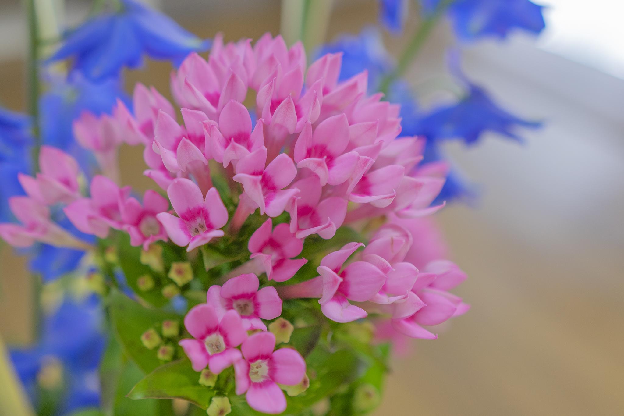 ブバルディアの花言葉と誕生花