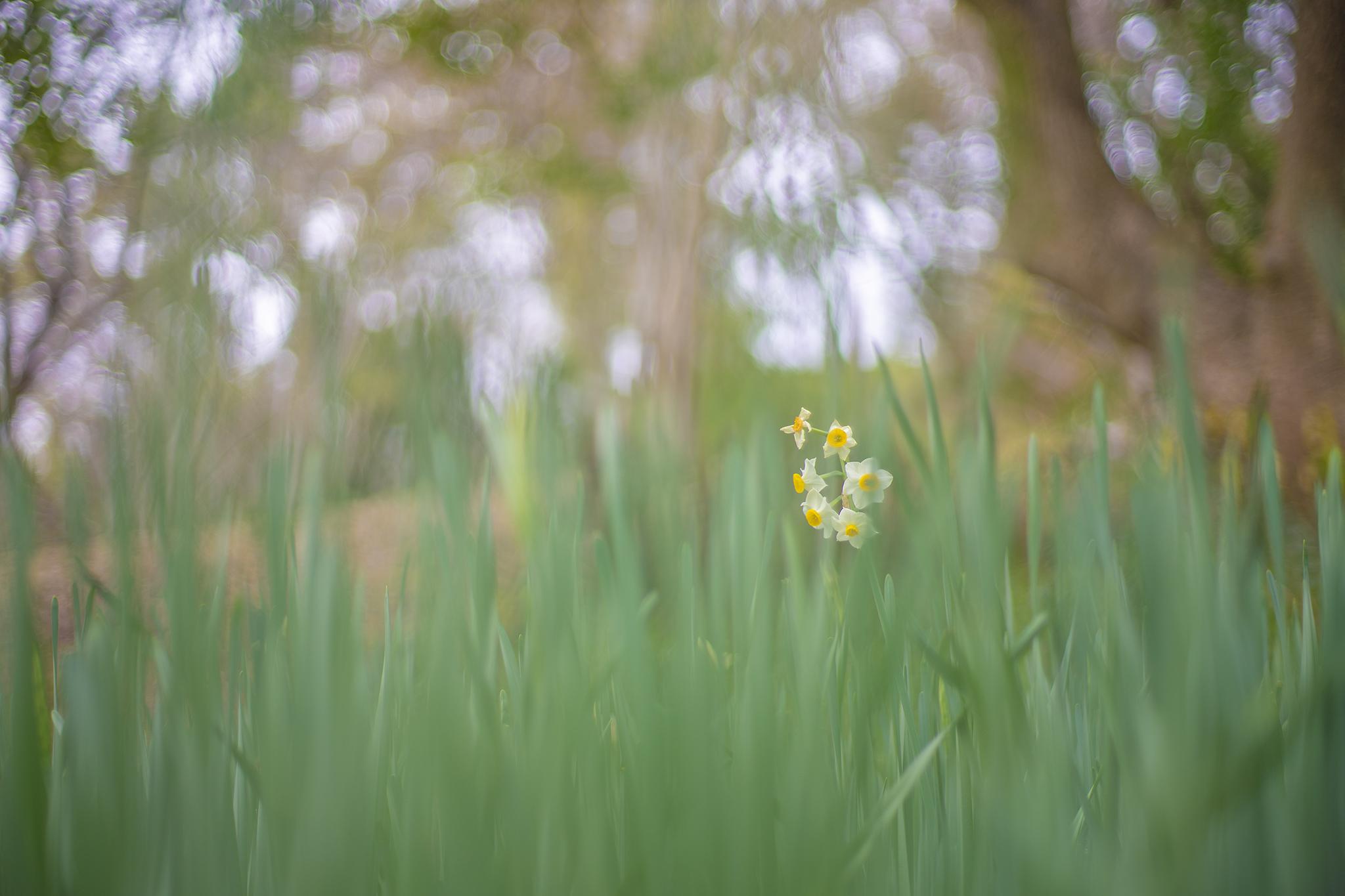 スイセンが咲く季節になった。