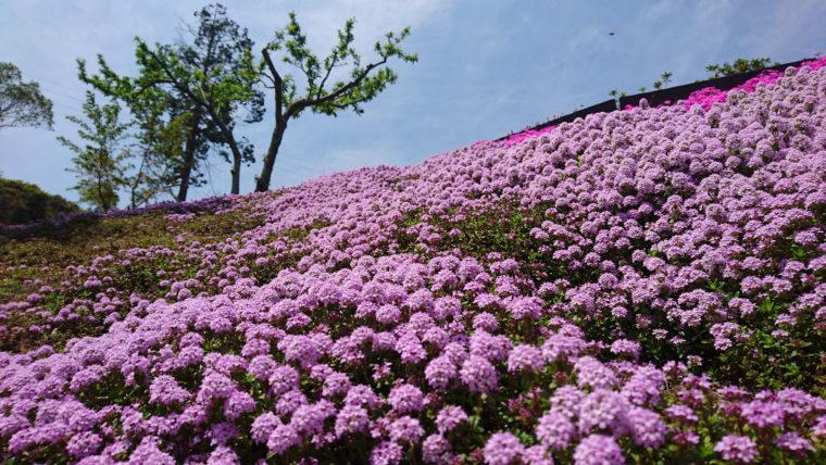 芝桜富士1