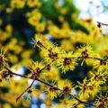 みろく自然公園の黄色のマンサクと紅色のマンサク