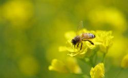 菜の花にとまる蜜蜂