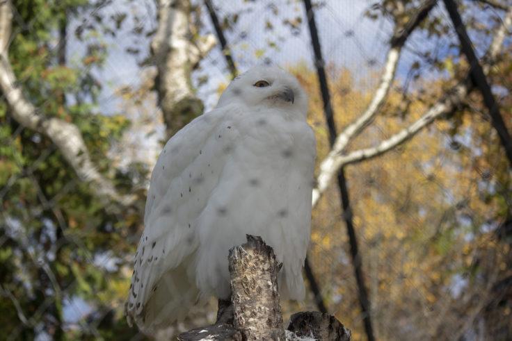 旭山動物園のオスのシロフクロウ