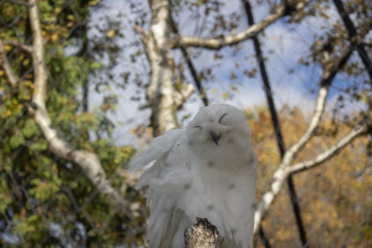 旭山動物園のオスのシロフクロウ(笑)