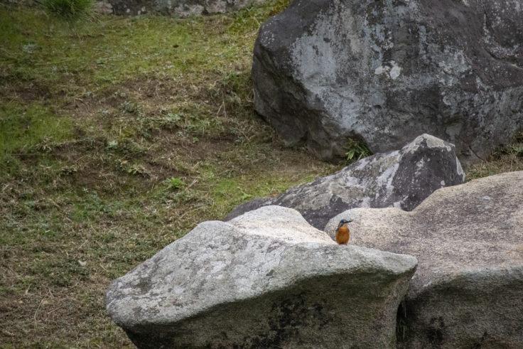 栗林公園のカワセミ