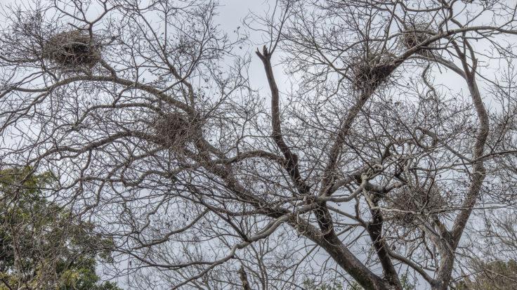徳島中央公園のサギの巣