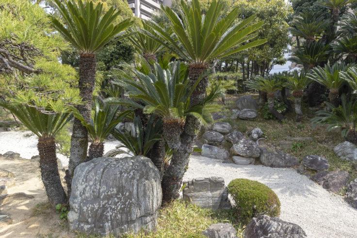 旧徳島城表御殿の蘇鉄