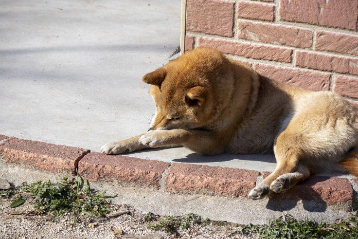 しろとり動物園の柴犬3