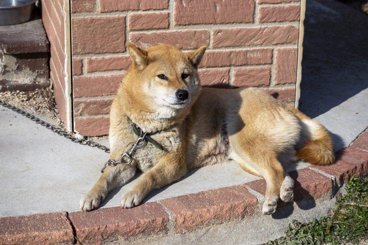 しろとり動物園の柴犬4