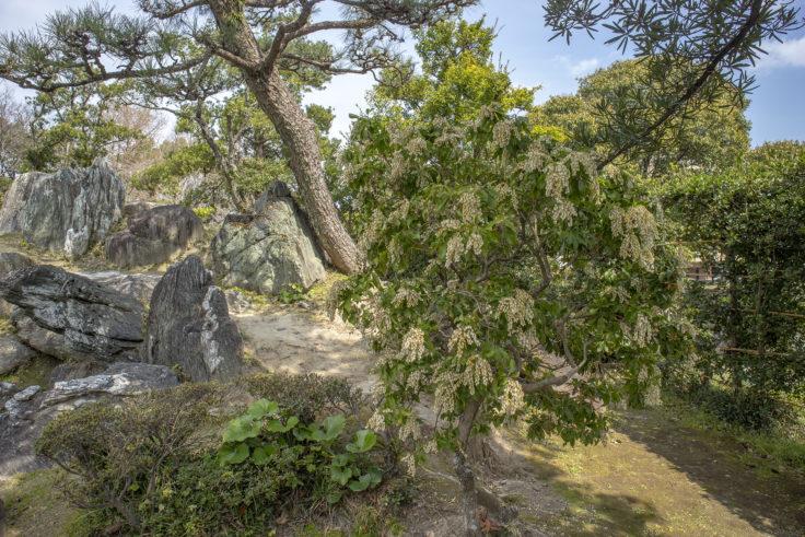 旧徳島城表御殿のアセビの花