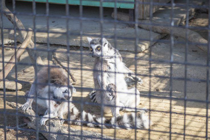 しろとり動物園のワオキツネザル2