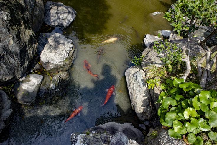 旧徳島城表御殿の鯉