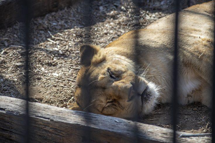 しろとり動物園のライオン