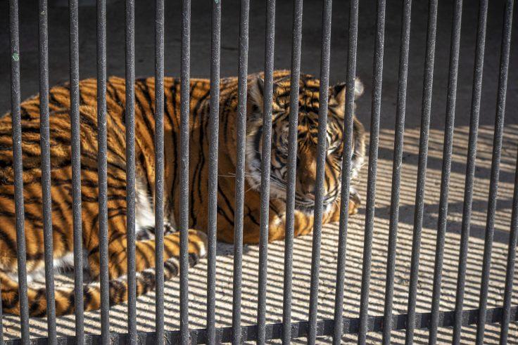 しろとり動物園のトラ