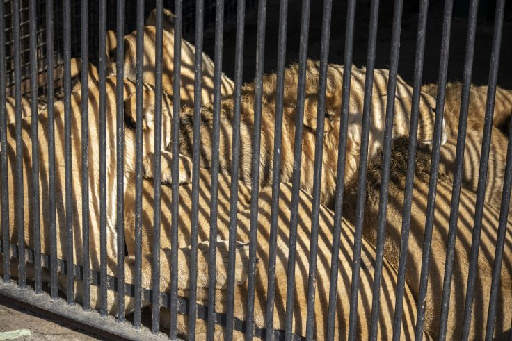 しろとり動物園のライオン4