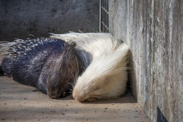 しろとり動物園のヤマアラシ