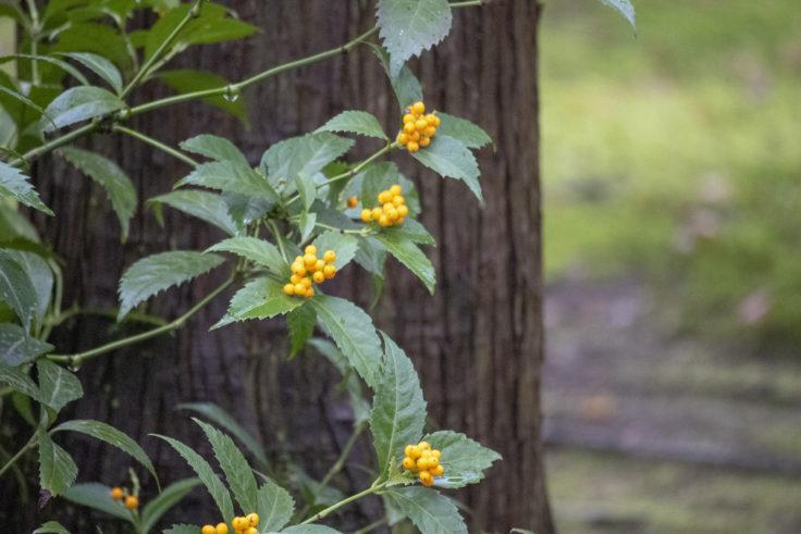 龍安寺の黄色のマンリョウ