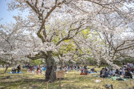 栗林公園の桜の標本木