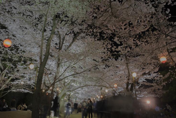 栗林公園芝生広場の夜桜広角