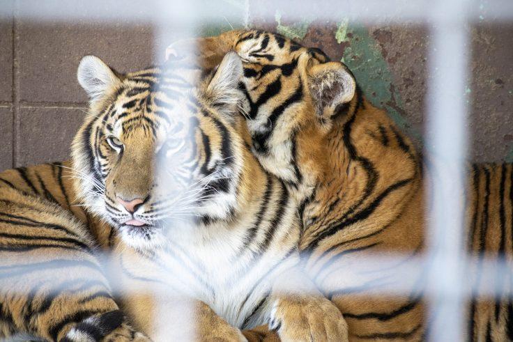 しろとり動物園のトラ2