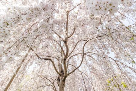 花見山こころの手紙館のしだれ桜を見上げる