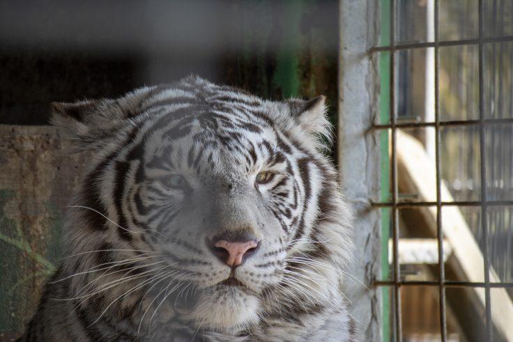 しろとり動物園のホワイトタイガー3