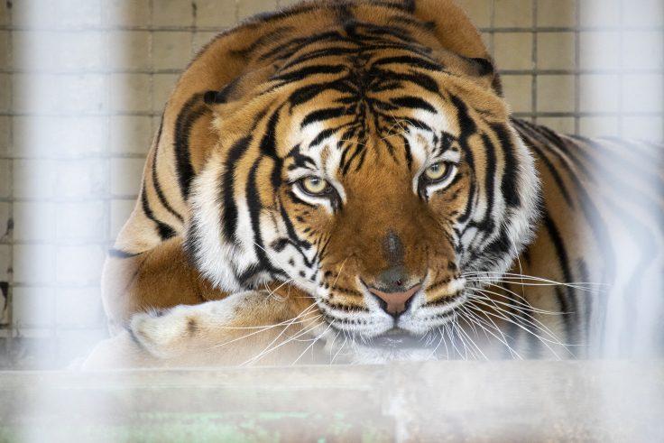 しろとり動物園のトラ3
