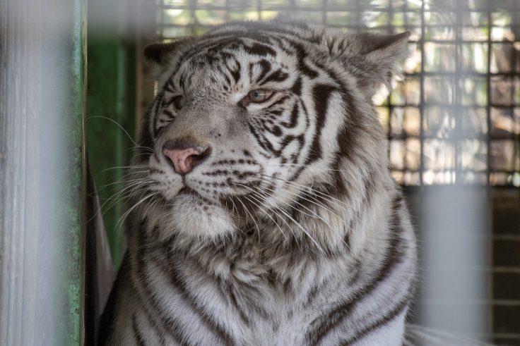 しろとり動物園のホワイトタイガー2