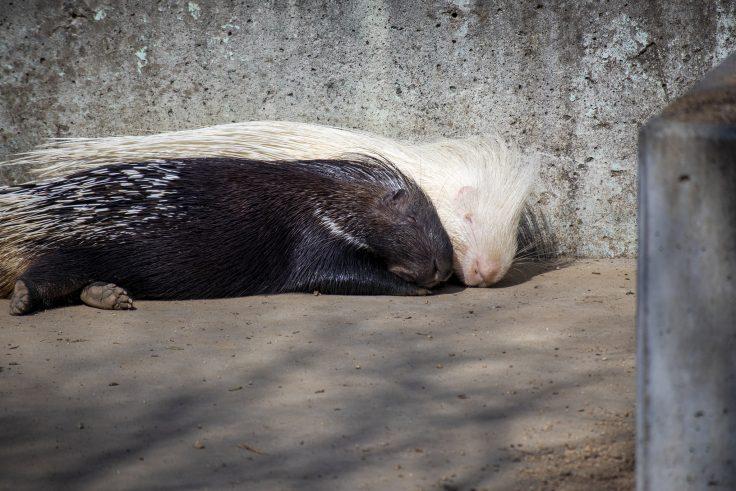 しろとり動物園のヤマアラシ2