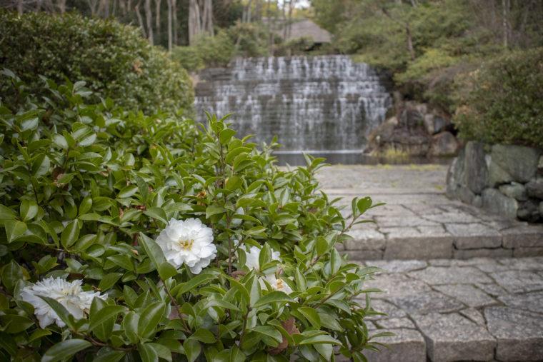 染が滝と山茶花