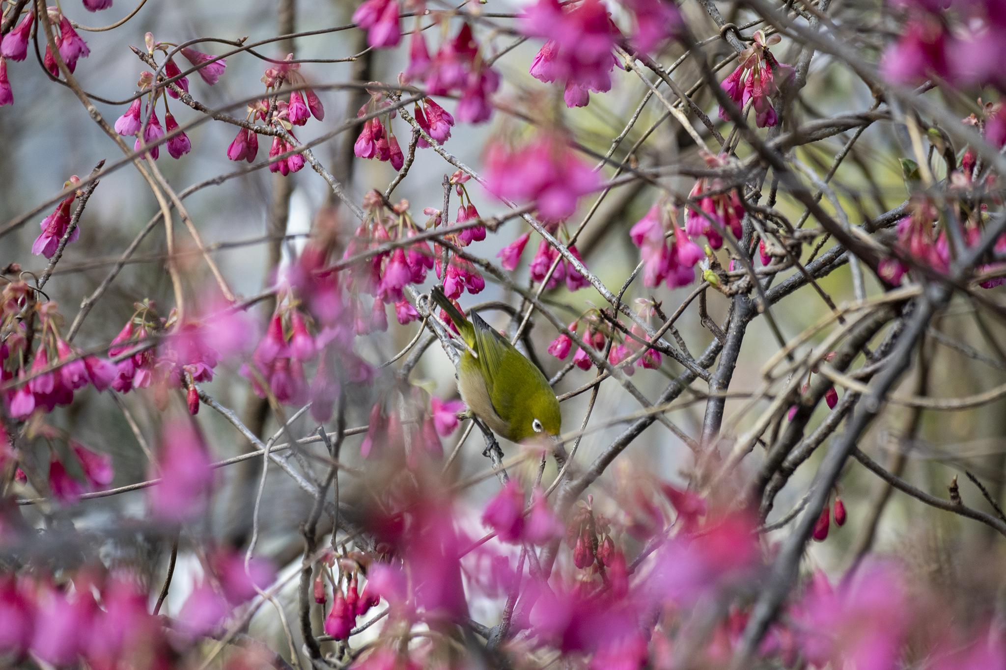 カンヒザクラの花言葉と誕生花
