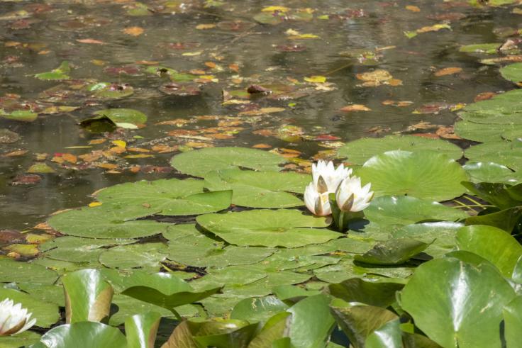 栗林公園西湖のスイレン2