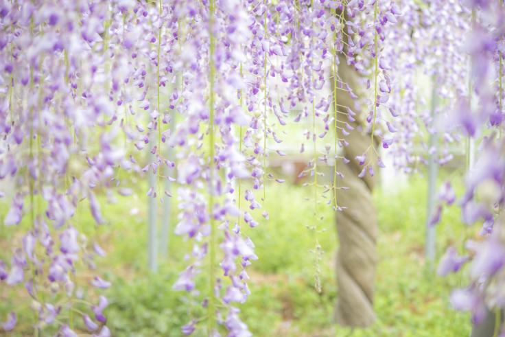 岩田神社の孔雀藤9